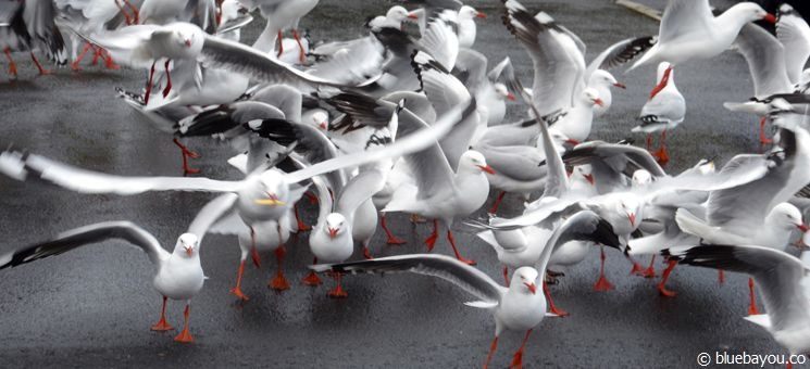 Gulls on a parking lot in Australia.