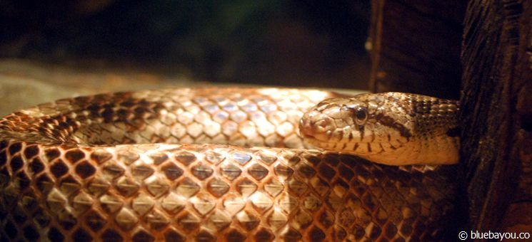 A snake at the Homosassa Springs Wildlife State Park.