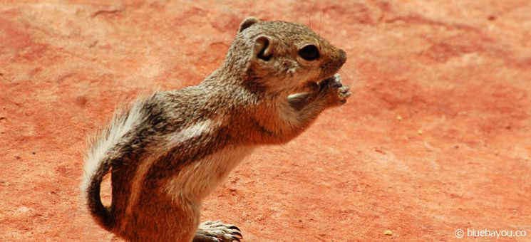 An Antelope Squirrel in the Valley of Fire State Park in Nevada, USA.